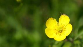 关闭在明亮的美丽的黄色花的一只甲虫 免版税库存图片