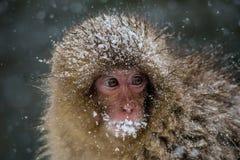 关闭在暴风雪的一只幼小日本短尾猿 免版税图库摄影
