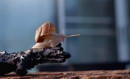关闭在木材的一只蜗牛 库存图片