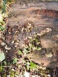 关闭在木树桩的生长绿色多孔菌 免版税库存图片