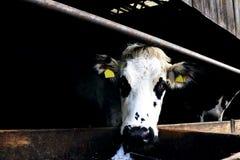 关闭在杂色的母牛头 免版税库存图片