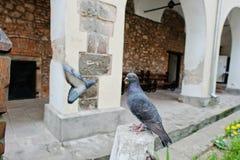 关闭在杆背景的鸽子供以座位的观点另一只鸠 库存图片