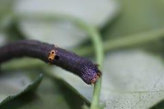 关闭在枝杈的一条毛虫 免版税库存图片