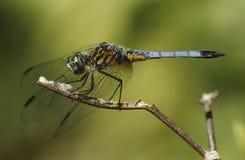 关闭在枝杈的蜻蜓 免版税图库摄影