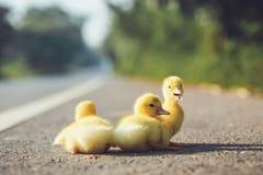 关闭在柏油路的小鸭子 免版税库存照片