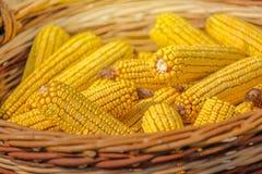 关闭在柳条筐的被收获的玉米 免版税库存图片