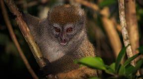 关闭在树的一只竹狐猴 免版税库存照片
