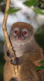 关闭在树的一只竹狐猴 免版税库存图片