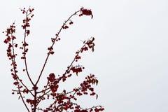 关闭在树的冰川覆盖的山楂子,红色果子在背景多雪的冬天公园 冬天,圣诞节 库存照片