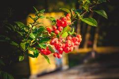 关闭在树的明亮的红色火棘莓果 库存图片