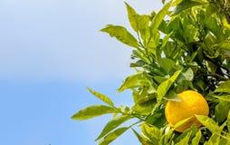 关闭在树的柠檬 库存图片