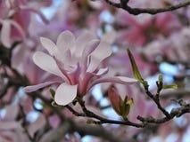 关闭在树的桃红色木兰开花 免版税库存照片