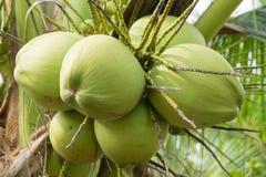 关闭在树的椰子 免版税图库摄影