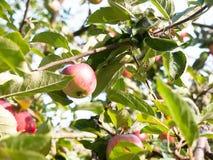 关闭在树的红色成熟苹果在后花园里 库存照片