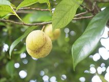关闭在树的肉豆蔻果子 图库摄影