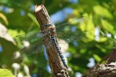 关闭在树的蓝色蜻蜓 免版税库存图片