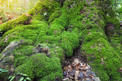 关闭在树的青苔在深刻的森林自然生活背景中 免版税库存图片