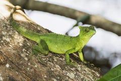 关闭在树的鲜绿色蛇怪蜥蜴 库存照片