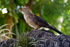 关闭在栖息处的一只Guira杜鹃在喜怒无常的庭院 免版税图库摄影