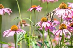 关闭在桃红色锥体花的蝴蝶 免版税图库摄影