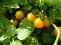 关闭在植物的或黄色无核小葡萄干蕃茄果子 免版税图库摄影