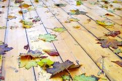 关闭在槭树一片湿绿色和黄色叶子的看法  图库摄影