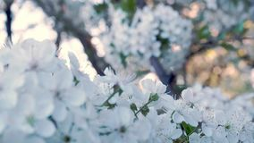 关闭在樱桃分支开花的看法 在春天的樱桃树开花 春天开花樱桃花 虚拟 影视素材