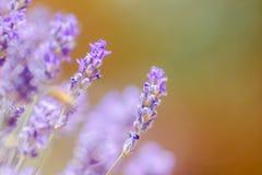 关闭在橙色和绿色模糊的背景的紫色花 免版税库存照片