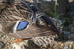 关闭在池塘旁边的一只野鸭 库存照片