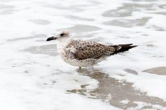 关闭在海滩的一只海鸥 库存图片