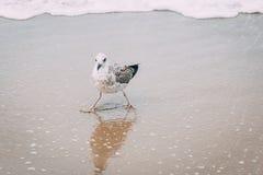 关闭在海滩的一只海鸥 免版税库存图片