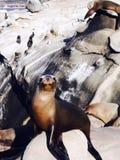 关闭在海滩的封印在拉霍亚,圣地亚哥加利福尼亚美国 免版税库存图片