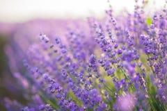 关闭在淡紫色领域的淡紫色花在日出光下 库存照片