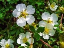 关闭在灌木的一朵白色狂放的玫瑰色花 库存图片