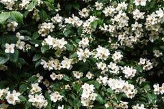 关闭在灌木的开花的茉莉花花在庭院,选择的foc里 免版税库存图片