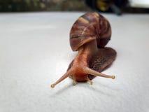 关闭在爬行在地面的壳的大蜗牛 免版税库存照片