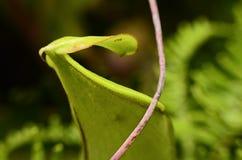 关闭在猪笼草一个肉食植物 免版税库存照片