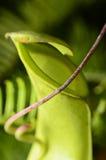 关闭在猪笼草一个肉食植物 免版税库存图片