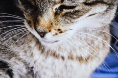 关闭在猫颊须 免版税图库摄影
