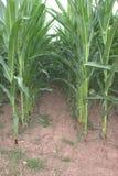 关闭在玉米玉米之间,玉蜀黍属5月平行的行的隧道  库存照片