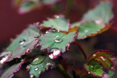 关闭在玫瑰事假的雨下落在一个雨天 免版税库存图片