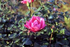 关闭在玫瑰花 免版税库存照片