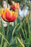 关闭在生长在庭院里的红色黄色郁金香 免版税库存照片