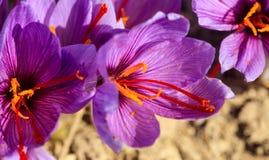 关闭在番红花花的一只蜂 库存图片