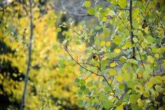 关闭在白杨木树的秋叶 库存照片