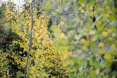 关闭在白杨木树的秋叶 免版税库存照片