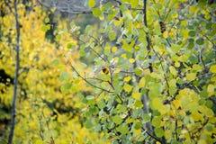 关闭在白杨木树的秋叶 库存图片