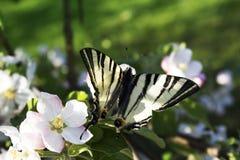 关闭在白桃红色开花苹果树的蝴蝶 免版税库存图片