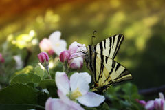关闭在白桃红色开花苹果树的蝴蝶 免版税库存照片