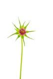 关闭在白色的未打开的波斯菊花蕾 库存图片